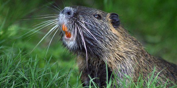 beaver-493798_960_720