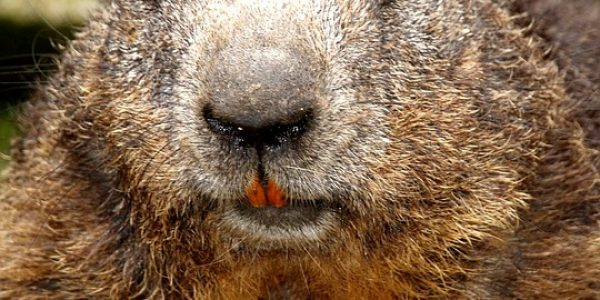 beaver-1286957_960_720