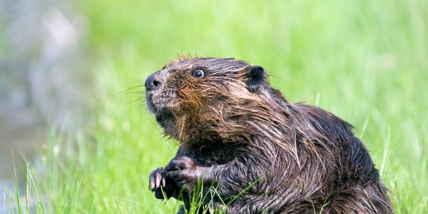 beaver-1448389_960_720