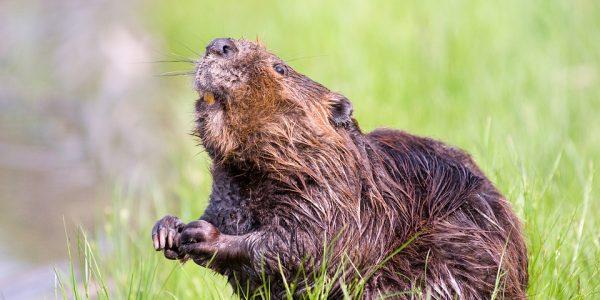 beaver-1528948_960_720
