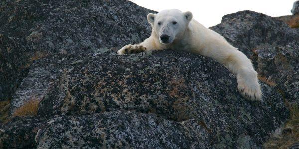 polar-bear-828995_960_720